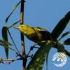 Chim nghệ ngực vàng