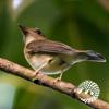 Đớp ruồi rừng ngực nâu