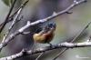 Chim sâu ngực đỏ